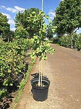 Späth Fächerblattbaum Zierstrauch winterhart