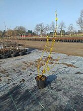 Späth Forsythie 'Lynwood' Heckenpflanze