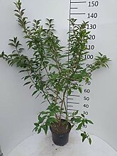 Späth Forsythie 'Lynwood' LH 80-100 cm im