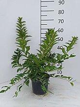Späth Forsythie 'Week-End' Heckenpflanze