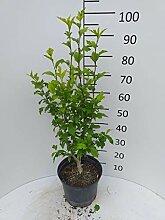 Späth Garteneibisch 'Mathilda' LH 40-60