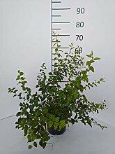 Späth Gefüllte Strauchspiere LH 40-60 cm im 3