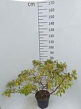 Späth Gelbbunter Hartriegel LH 40-60 cm im 7,5