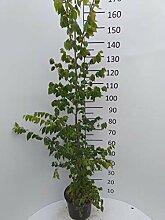 Späth Japanische Zelkove LH 100-150 cm im 7,5
