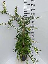 Späth Perlmuttstrauch LH 60-80 cm im 7,5 Liter