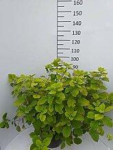 Späth Strauchhortensie 'Grandiflora'