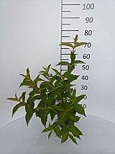 Späth Weigelie 'Bristol Ruby' LH 40-60 cm