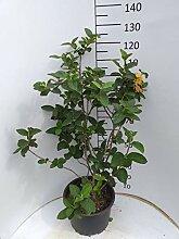 Späth Wolliger Schneeball LH 80-100 cm im 20