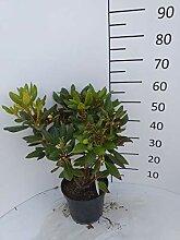 Späth Yaku-Rhododendron 'Bohlken's