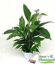 Spathiphyllum wallisii - Einblatt blühende