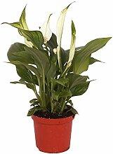 "Spathiphyllum wallisii ""Pearl Cupido"" |"