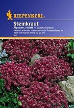 Sperli Blumensamen Steinkraut Alyssum, violett,