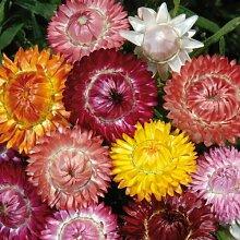 Sperli Blumensamen Strohblumen Mischung, grün