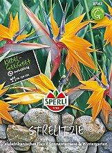 Sperli-Samen Paradiesvogelblume (Strelitzia reginae)