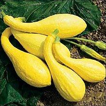 Squash Crookneck Gemüsesamen (Cucurbita pepo) 50