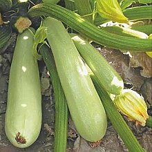Squash - Zucchini Sangrum F1 Samen Ultra-Früh Hybrid Variety, NON-GMO