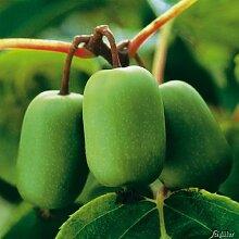 Stachelbeer-Kiwi 'Issai'