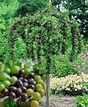 Stachelbeer-Stämmchen Sortiment. bestehend aus je 1 Pflanze der Sorten Hinnonmäcki® rot. Hinnonmäcki® gelb. Invicta® grün