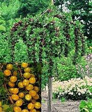 Stachelbeer-Stamm Hinnonmäki® gelb. 1 Pflanze - zu dem Artikel bekommen Sie gratis ein Paar Handschuhe für die Gartenarbeit dazu