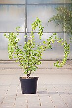 Stachelbeere Hinnonmäki grün, 30-40 cm, Beerenobst Pflanze, Strauch für Sonne-Halbschatten, Obststrauch winterhart & mehrjährig, Ribes uva-crispa, im Kübel