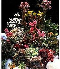 Staude Hauswurz 4 Pflanzen