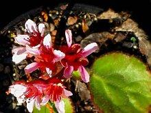 Staudenkulturen Wauschkuhn Bergenia ciliata -