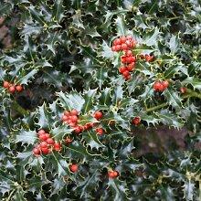 Stechpalme 'Alaska' - Ilex aquifolium 'Alaska' - Immergrüne Gartenpflanze