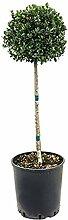 Stechpalme, ca. 100 cm, Balkonpflanze robust, Terrassenpflanze halbschattig-schattig, Kübelpflanze Westbalkon-Ostbalkon, Ilex crenata dark green, im Topf