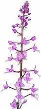 Stenoglottis longifolia blühende Orchidee - sehr