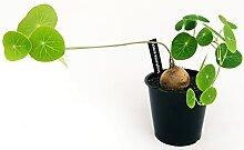STEPHANIA ERECTA XXL Vase 13cm echte Pflanze