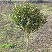 Steppenkirsche Globosa Prunus fruticosa Globosa