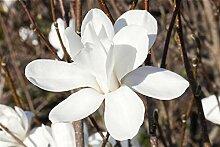 Sternmagnolie Magnolia stellata im Topf gewachsen