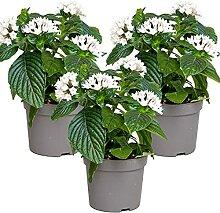 Sternpflanze Weiß | Kübelpflanze