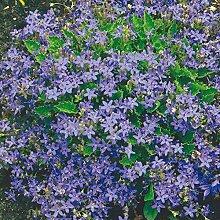 Sternpolster-Glockenblume - Campanula garganica - blau blühende, sternförmige Blüten, im 9 cm Topf - frisch aus der Gärtnerei - Pflanzen-Kölle Gartenstaude