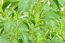 Stevia / ca. 100 Samen / Zuckerersatz / für Garten oder zur Aussaat im Kräutertopf