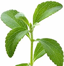 Stevia rebaudiana - Stevia rebaudiana - Samen