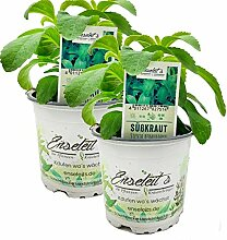 Stevia - Süßkraut - Stevia Rebaudiana 2