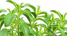 Stevia zum selber pflanzen/frisches Saatgut/ca.