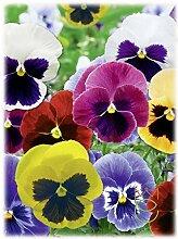 Stiefmütterchen 0,3 g Viola Tricolor Blumen Samen