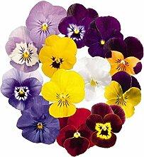 Stiefmütterchen-Blumensamen 30+ Bio Leicht zu