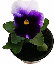 Stiefmütterchen (Viola Matrix) Beaconsfield im 3er Se
