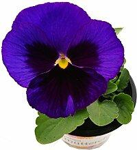 Stiefmütterchen (Viola Matrix) blau mit Auge im 3er Se