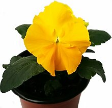 Stiefmütterchen (Viola Matrix) gelb im 3er Se