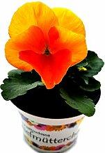 Stiefmütterchen (Viola Matrix) orange im 3er Se