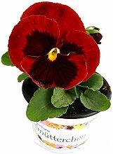 Stiefmütterchen (Viola Matrix) rot mit Auge im 3er Se
