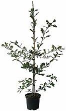 Stieleiche Deutsche Eiche Quercus robur Hofbaum