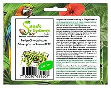Stk - 15x Perlen Chlorophytum Samen Erbsenpflanze