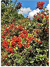 Stk - 1x Cotoneaster Suecicus Coral Beauty