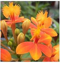 Stk - 1x Epidendrum Orchidee Topf Pflanze
