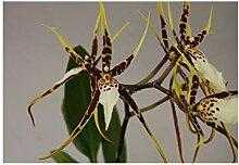 Stk - 1x Miltassia Orchidee Topf Pflanze